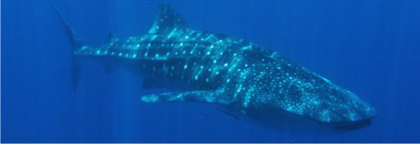 Whalhai Tour - whaleshark divers