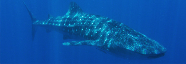 WHALE SHARK TOURS - whaleshark divers